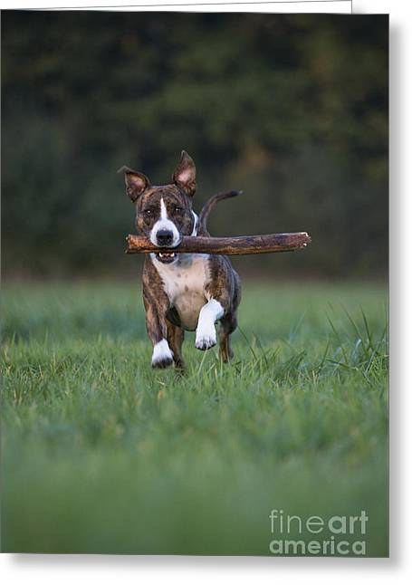 Dog Playing With Stick Greeting Card