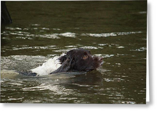 Dog Swimmer Greeting Card by Adrian Wale