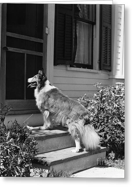 Dog Waiting To Be Let In To House Greeting Card by H. Armstrong Roberts/ClassicStock