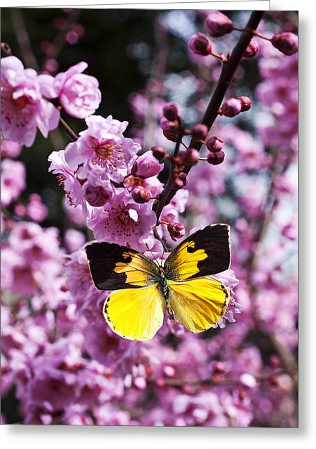 Gentle Petals Greeting Cards - Dogface butterfly in plum tree Greeting Card by Garry Gay