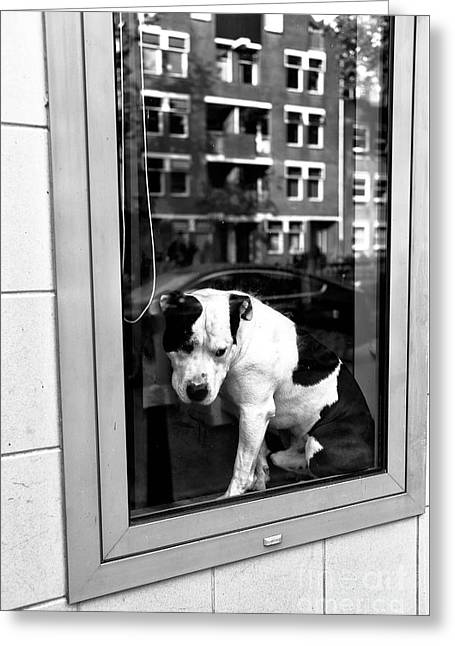 Doggy In The Window Mono Greeting Card by John Rizzuto