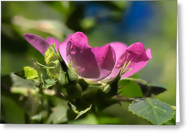 Dogrose 1 Greeting Card by Leif Sohlman