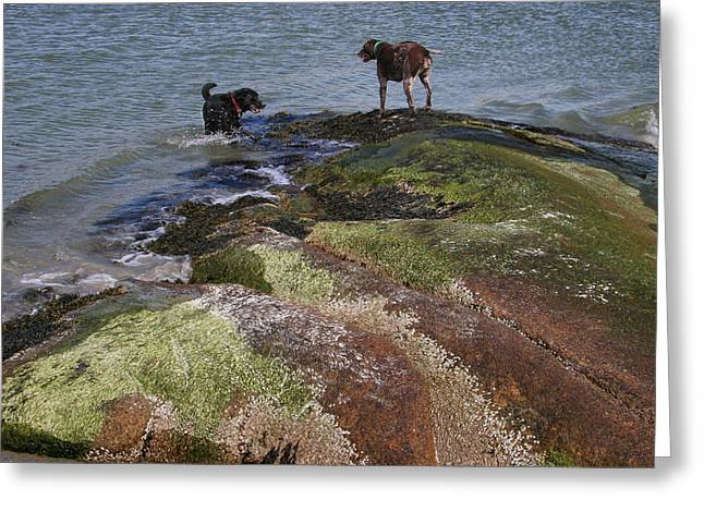 Dogs On The Rocks Greeting Card by Rose Martin