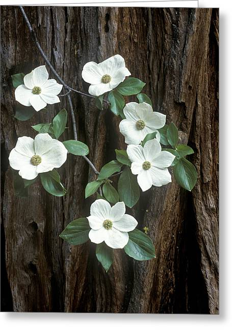 Dogwood And Redwod Greeting Card