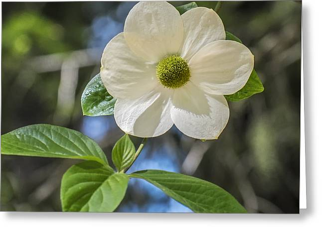 Dogwood At The Lake Greeting Card