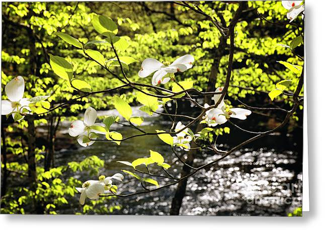 Dogwood Bloom Along A River In New Jersey Greeting Card by George Oze