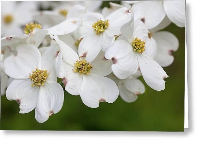 Dogwood Blossoms North Carolina Blue Ridge Parkway Greeting Card by Mark VanDyke