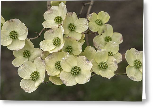 Dogwood Dance In White Greeting Card