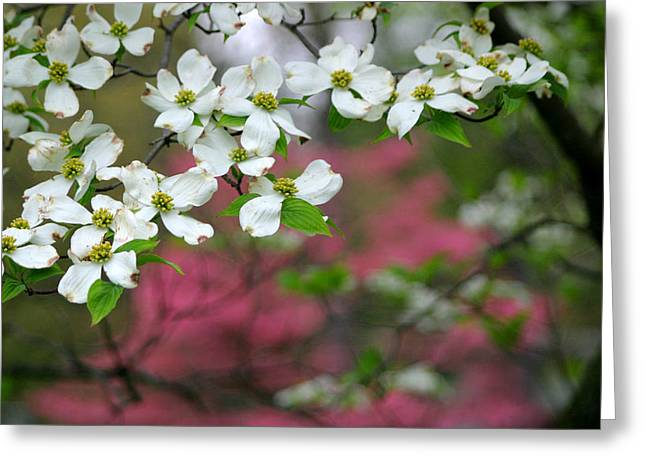 Dogwood Days Greeting Card