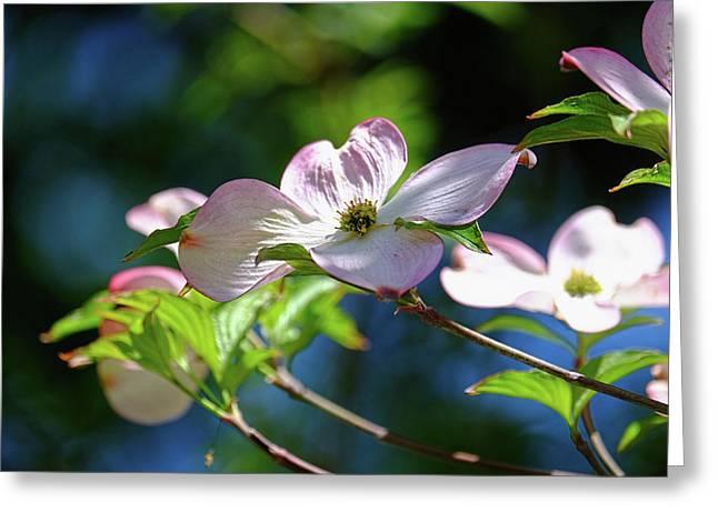 Dogwood Flowers Greeting Card by Ronda Ryan