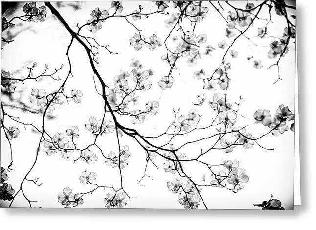 Dogwood In Bloom  Black And White Greeting Card by Mother Nature