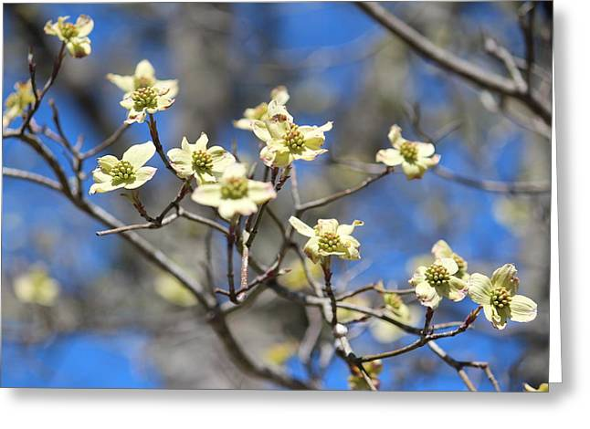 Dogwood In Bloom Greeting Card by Cynthia Guinn