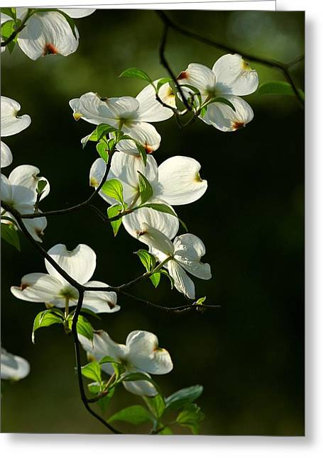 Dogwood Retrospective Greeting Card