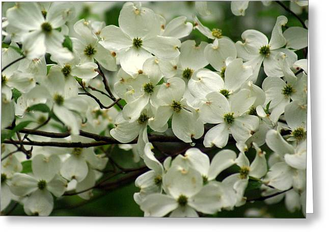 Dogwoods Greeting Card by Marty Koch