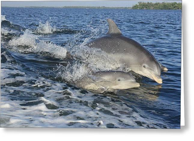 Dolphin Family Greeting Card by Tara Moorman Photography