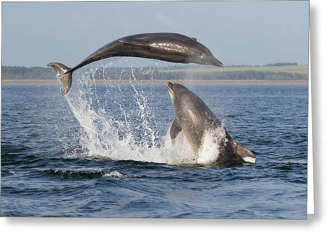 Dolphins Having Fun Greeting Card