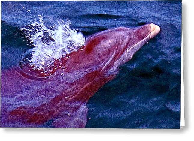 Dolphin In The Gulf Greeting Card by Bill Perry