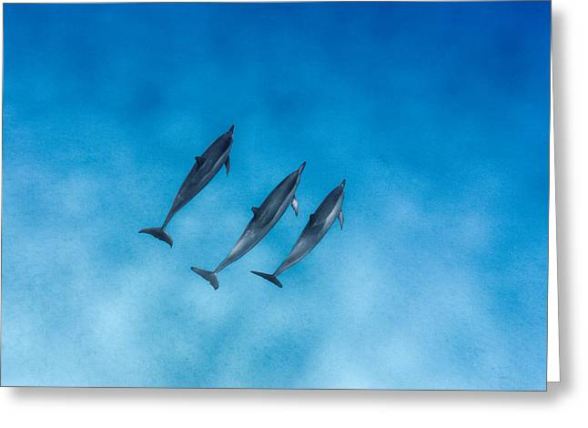 Dolphin Trio Greeting Card by Sean Davey