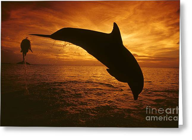 Dolphins And Sunset Greeting Card by Dave Fleetham - Printscapes