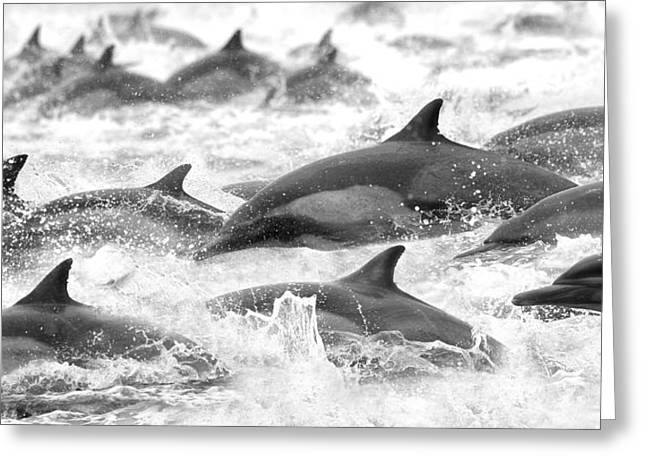 Dolphins On The Run Greeting Card by Steve Munch