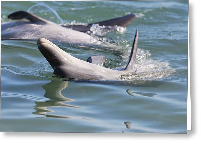 Dolphins Playing Greeting Card by Lenscraft Niel Morley