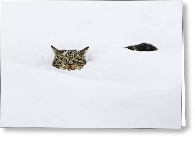 Domestic Cat Felis Catus In Deep Snow Greeting Card