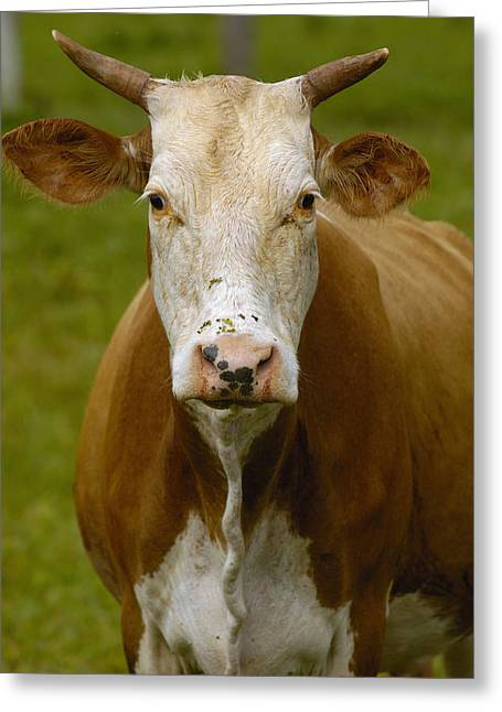 Domestic Cattle Bos Taurus Female Greeting Card by Pete Oxford