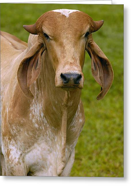Domestic Cattle Bos Taurus Male Greeting Card by Pete Oxford