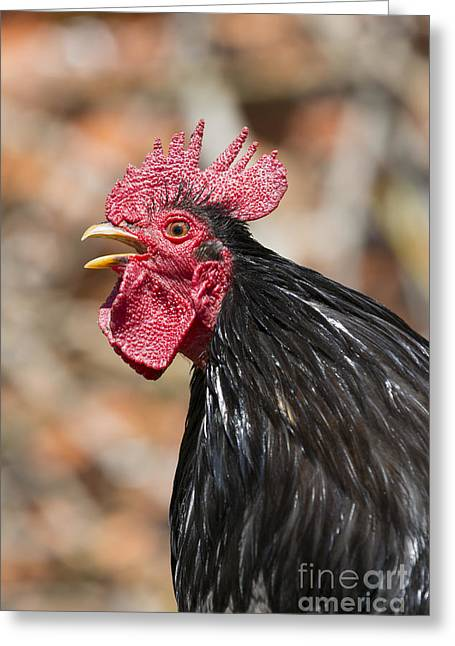 Domestic Chicken Crowing Greeting Card