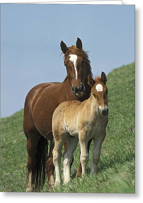 Equidae Greeting Cards - Domestic Horse Equus Caballus Mare Greeting Card by Konrad Wothe