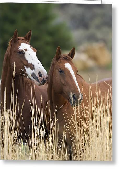 Equidae Greeting Cards - Domestic Horse Equus Caballus Pair Greeting Card by Konrad Wothe