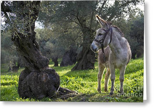 Donkey In An Olive Grove Greeting Card by Jean-Louis Klein & Marie-Luce Hubert
