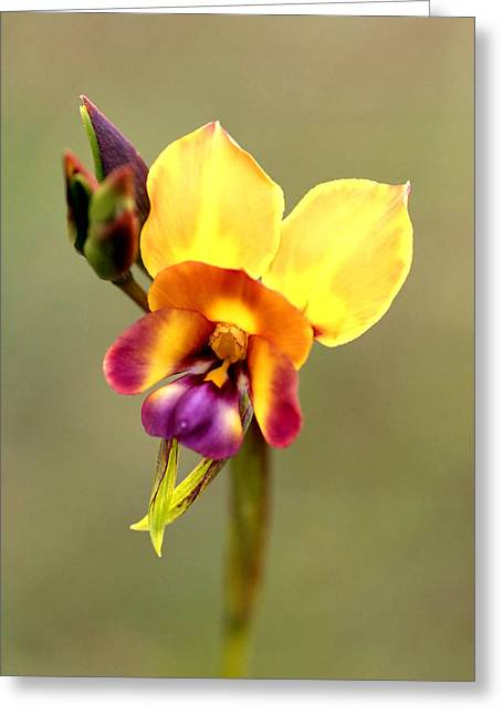 Donkey Orchid Greeting Card