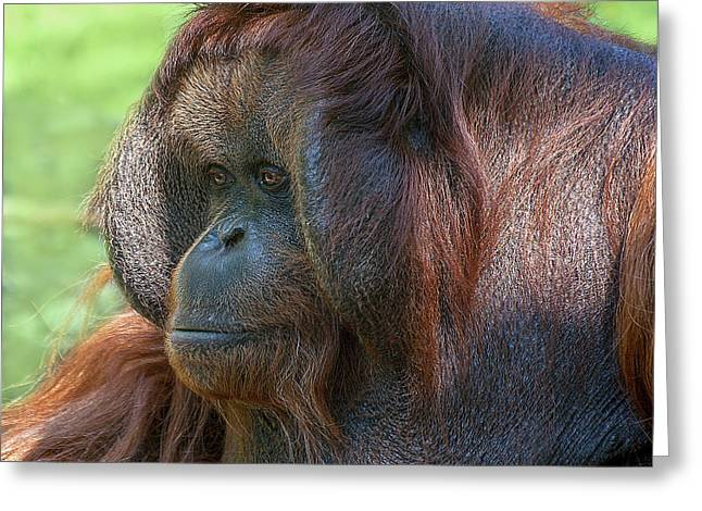 Orang-utans Greeting Cards - Dopey Eyes Greeting Card by Heiko Koehrer-Wagner