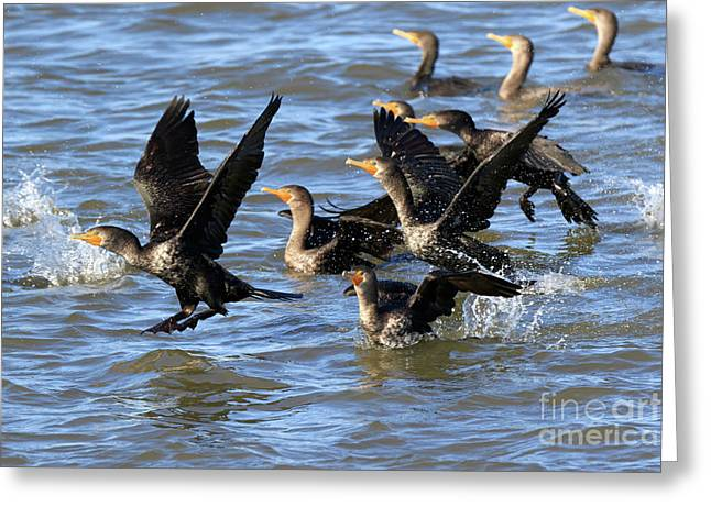 Double Crested Cormorants Greeting Card by Louise Heusinkveld