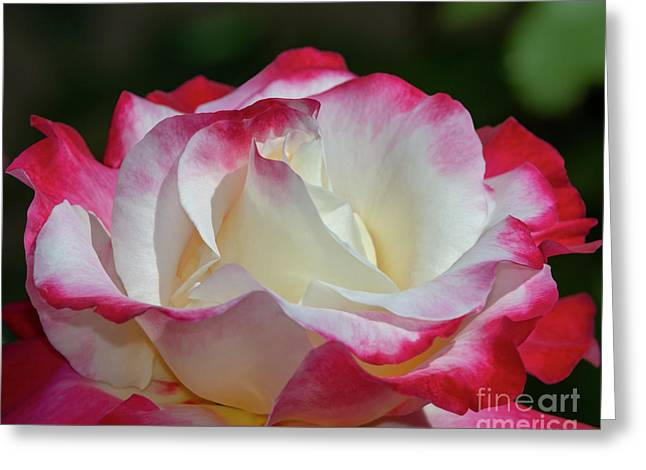 Double Delight Rose 1 Greeting Card