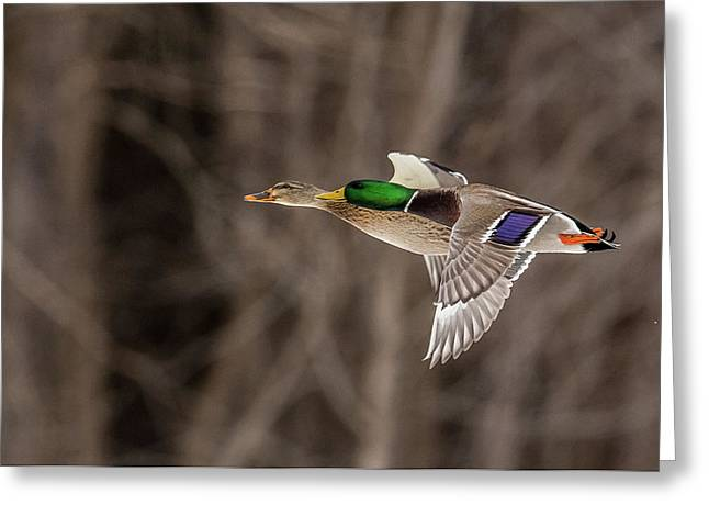 Double Duck Greeting Card by Paul Freidlund