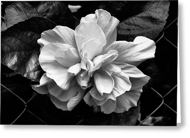 Double Hibiscus Flower Black White Print Greeting Card by Kathy Daxon