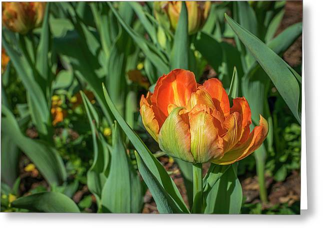 Double Multicolor Tulips Greeting Card