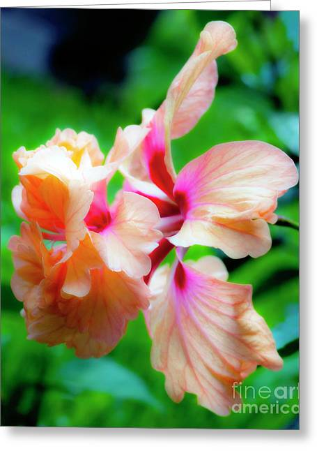 Double Peach Hibiscus Two Greeting Card by Ken Frischkorn