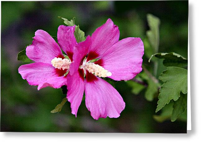 Green Burgandy Greeting Cards - Double Pink Violet Hibiscus Blossom Greeting Card by Linda Phelps