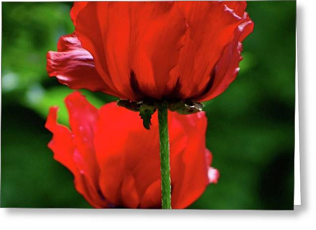 Double Red Poppies Greeting Card