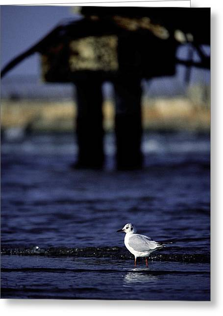Dove In Theold Port Of Tel  Aviv Greeting Card by Isaac Silman