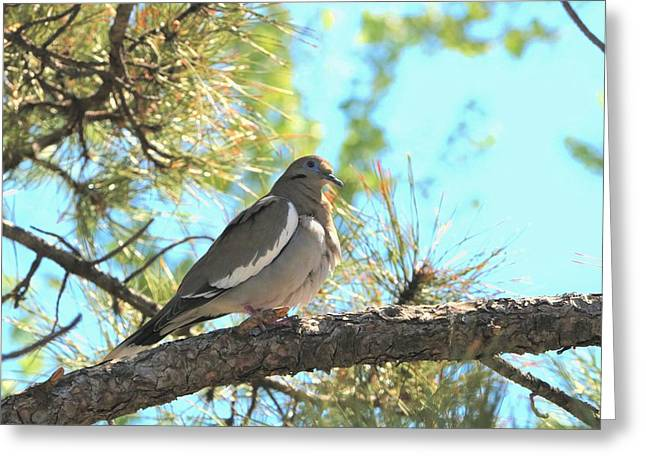 Dove In Pine Tree Greeting Card