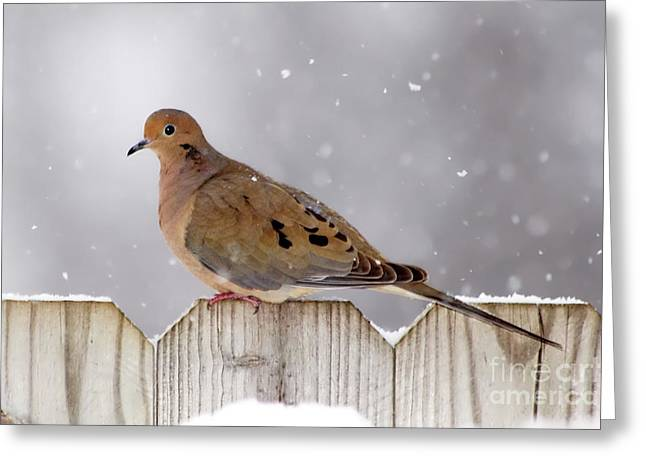 Dove In The Snow Greeting Card by Betty LaRue