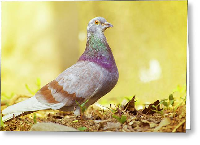 Dove  Standing Close Up Greeting Card