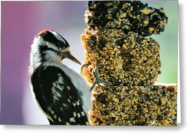 Downy Woodpecker Greeting Card by Aliceann Carlton