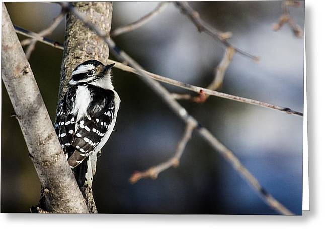 Downy Woodpecker Greeting Card by Dan Traun
