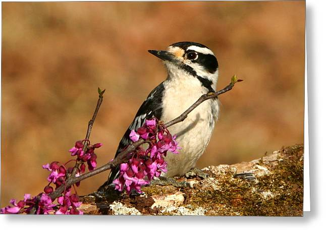 Downy Woodpecker In Spring Greeting Card