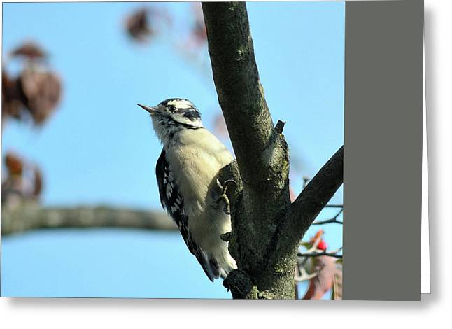Downy Woodpecker Greeting Card by Kathy Eickenberg